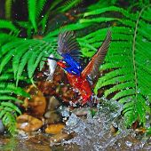 Male Blue-eared Kingfisher