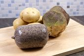 picture of haggis  - A traditional raw Scottish Haggis with potatoes and swede - JPG