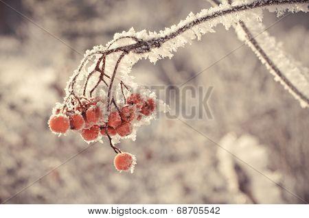 Winter Berry