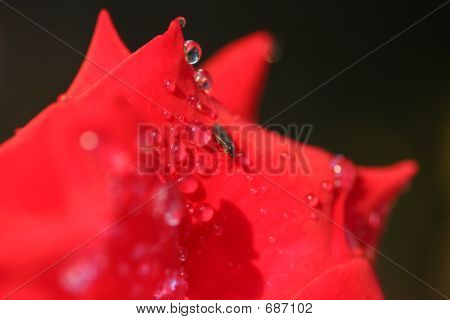 Bug On Red Rose With Dew Drops