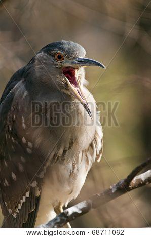 Black-crowned Night Heron.  (juvenile)