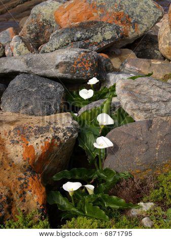 Lillies amongst rocks.