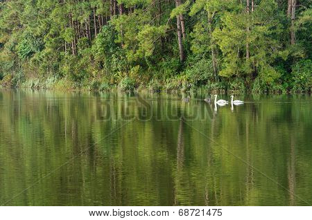 White Swan And Its Mate Are Swimming In The Lake