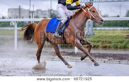 Horses and Jockeys Come Aross Finish Line Neck. Horse galloping through a puddle and fly spray