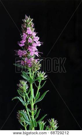 Giant Hyssop Pink Dark Background