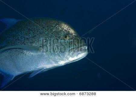 Blauflossen-Makrelen