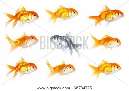 Group of goldfish with one fish swimming the opposite way, isolated on white. Different way in business.