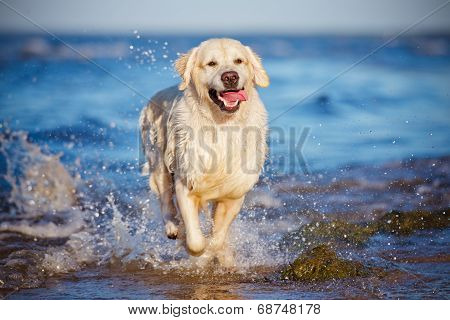golden retriever dog at the beach