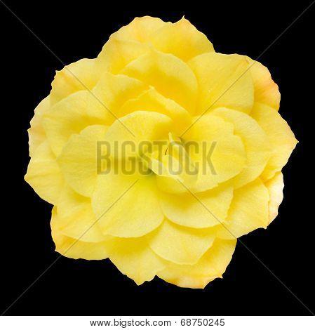 Dahlia Flower Yellow Petals Isolated On Black