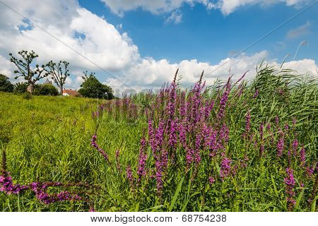 Colorful Landscape With Blooming Purple Loosetrife