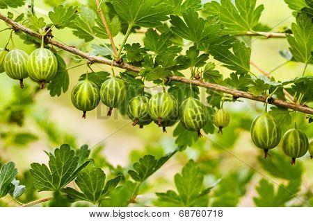 Gooseberries On A Bush In The Garden