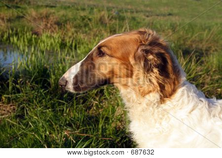 Young Borzoi Dog