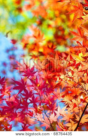 Beautiful transitions of colors of autumn. Colorful spectrum of bright autumn colors, Red, orange, yellow, green leaves on a autumn trees, against a blue sky background.