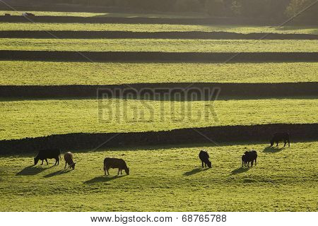 Cows on pasture in Yorkshire Dales, Yorkshire, England
