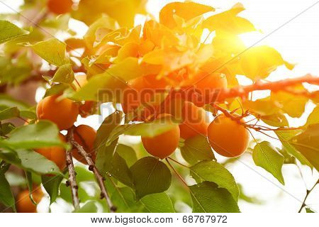 Ripe Apricots On The Branch