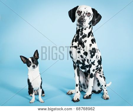 Chihuahua and Dalmatian