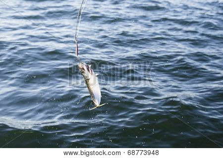 Fishing mackerel in the sea