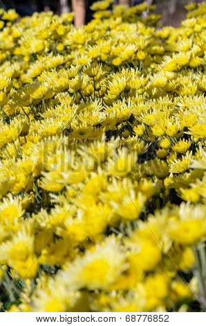 Yellow Chrysanthemum Flowers Garden