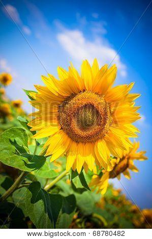 Sunflowers Field. Bright Blue Sky