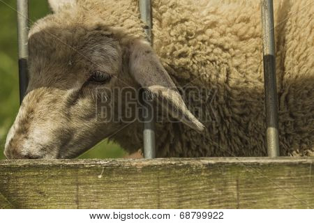 Close up of a lamb in a field