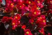 picture of begonias  - closeup of a group of beautiful begonia flowers under bright sunlight  - JPG