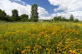 picture of black-eyed susans  - A field of yellow flowers called Black - JPG