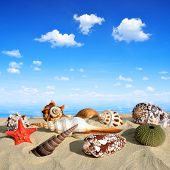 picture of conch  - Conch shells on beach - JPG