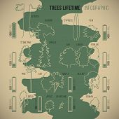 stock photo of walnut-tree  - Tree lifetime infographic of duration of life various types of trees with proportionate schematic silhouettes and symbolic duration measurement vector - JPG