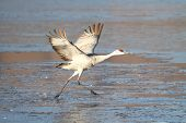 stock photo of apache  - Sandhill Crane (Grus canadensis) taking flight at Bosque del Apache in New Mexico