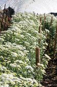 Постер, плакат: White Chrysanthemum Morifolium Flowers Farms