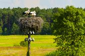 picture of stork  - Young storks - JPG