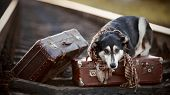 stock photo of mongrel dog  - Dog on rails with suitcases - JPG