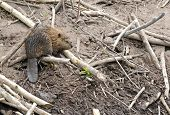 image of beaver  - Baby Beaver on beaver dam in pond - JPG