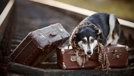 picture of runaway  - Dog on rails with suitcases - JPG