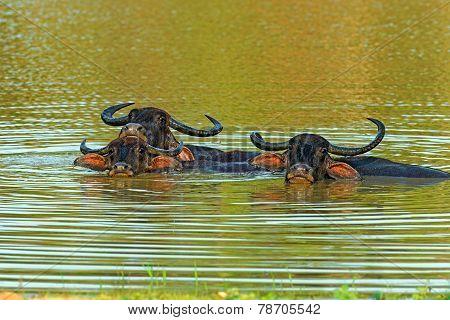 Buffalos in the water