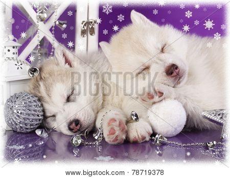 Siberian Husky christmas puppy