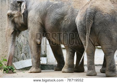 Indian elephants (Elephas maximus indicus).