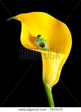 Frog In Arum Lily