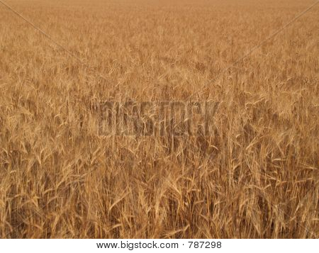 Barley (Hordeum distichum)