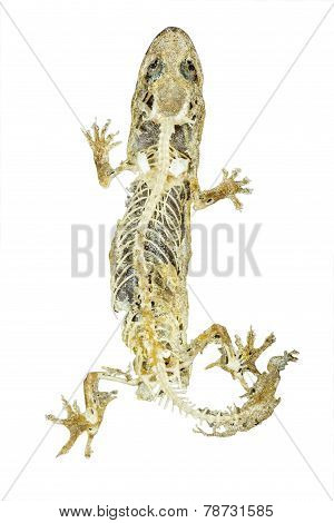Dead Body Of Lizard On White Background