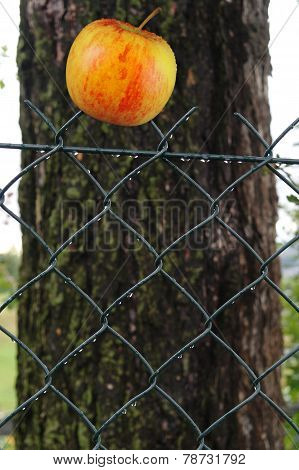 Apple On Fence