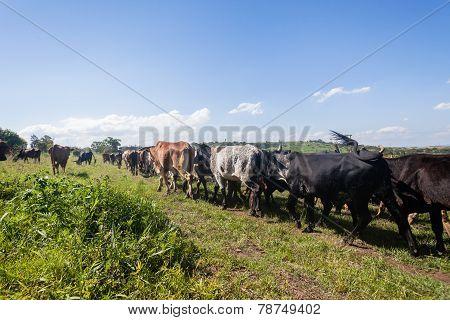 Cattle Herd Animals