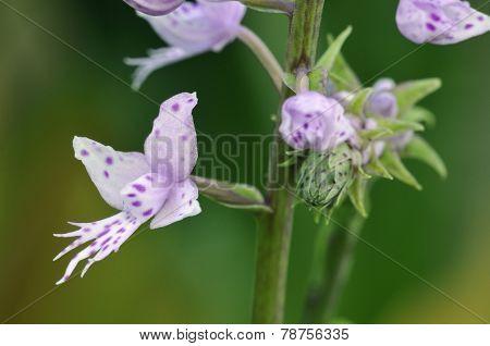 Long-leafed Stenoglottis Orchid