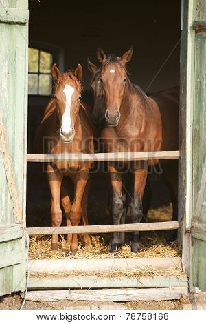 Two Thoroughbred Foals In Stable Door. Horses In The Barn