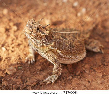 A Texas Horned Lizard, Phrynosoma cornutum