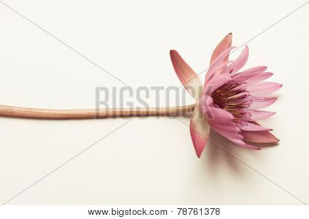 An Indian lotus flower placed on plain background.