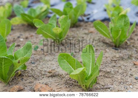 Cos Lettuce Vegetable Growing In The Farm