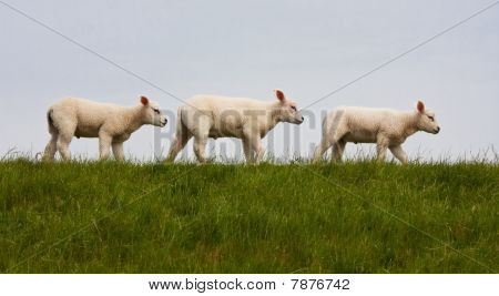 Parade Of Young Lambs In Succession