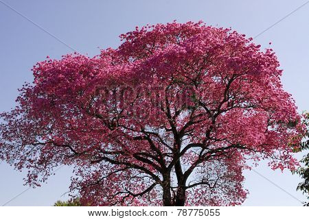 Pink Lapacho tree