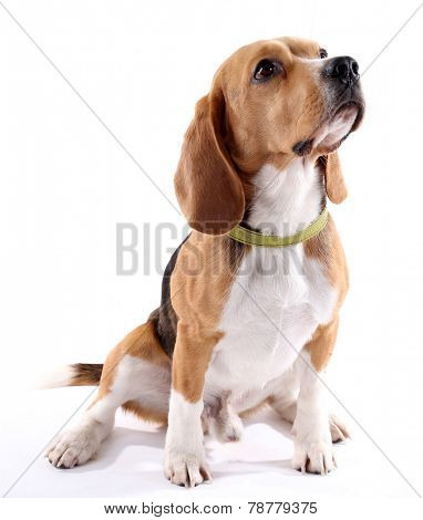 Beagle dog isolated on white